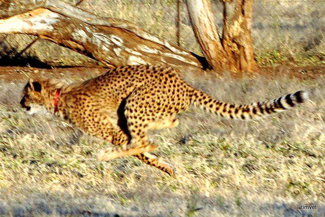 cheetah%202.jpg