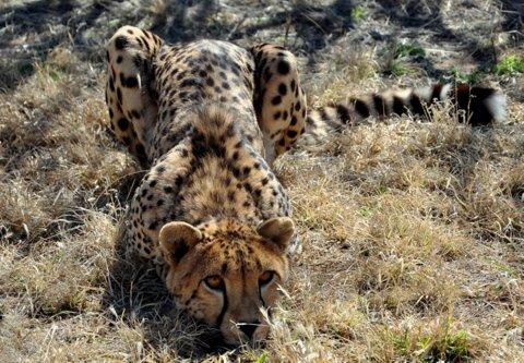 cheetah%203.jpg